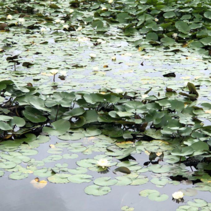 蘇原自然公園の睡蓮